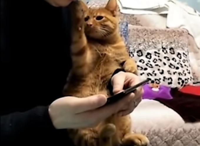 Un gattino fa di tutto per attirare l'attenzione del suo umano che è occupato con il cellulare