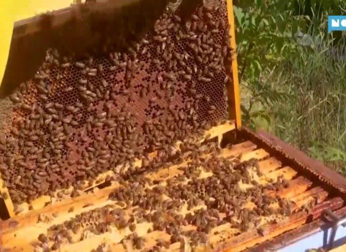 Cala la produzione del miele d'acacia, bene quello di castagno