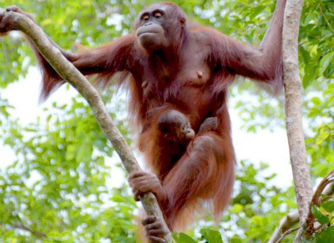 Madre Orangutan incontra sua figlia, dopo che quest'ultima era sta rapita da un orangutan maschio di 14 anni