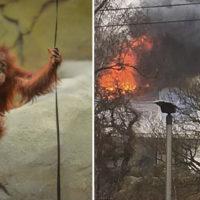 I vigili del fuoco salvano dozzine di oranghi che vagano nell'area di un terribile incendio