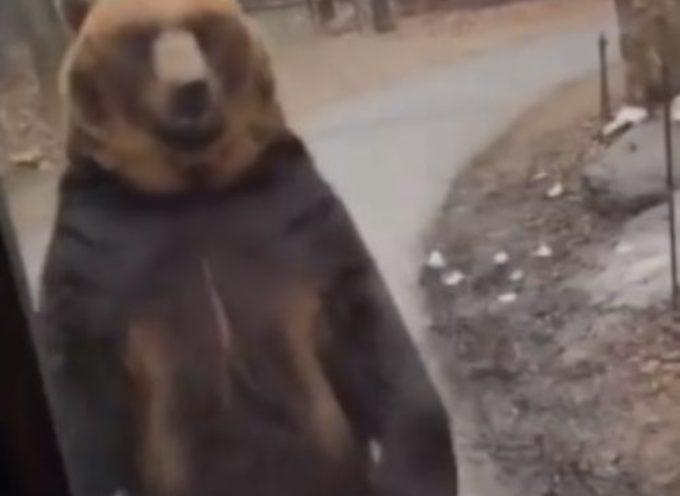 Un orso bruno è costretto ad alzarsi sulle zampe posteriori per salutare e intrattenere i turisti