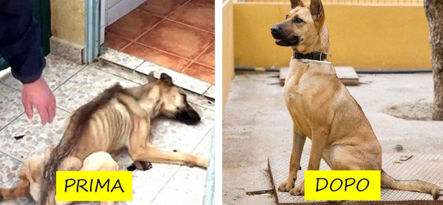 27 foto di cani prima e dopo il salvataggio, incredibile il loro recupero