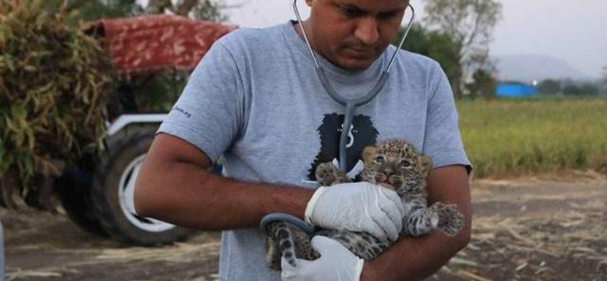 Dei ragazzi conforto un piccolo leopardo trovato che piangeva in un campo