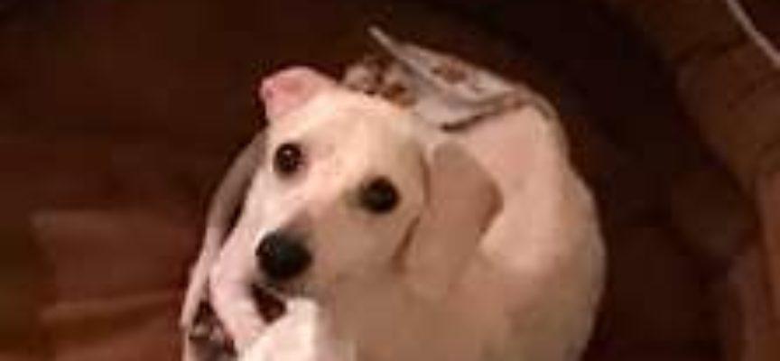 il cane salvato dal canile in condizioni precarie non sapeva nemmeno come dormire sdraiato
