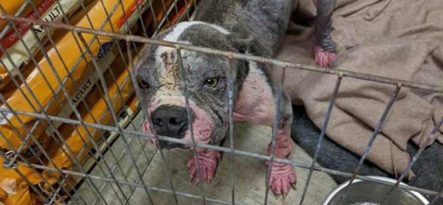 Pitbull era estremamente spaventato al canile finché non incontrò la sua nuova famiglia