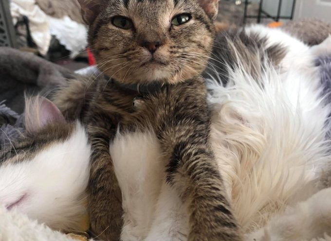 Gattino che non può crescere, conforta altri gatti con bisogni speciali con coccole ogni giorno