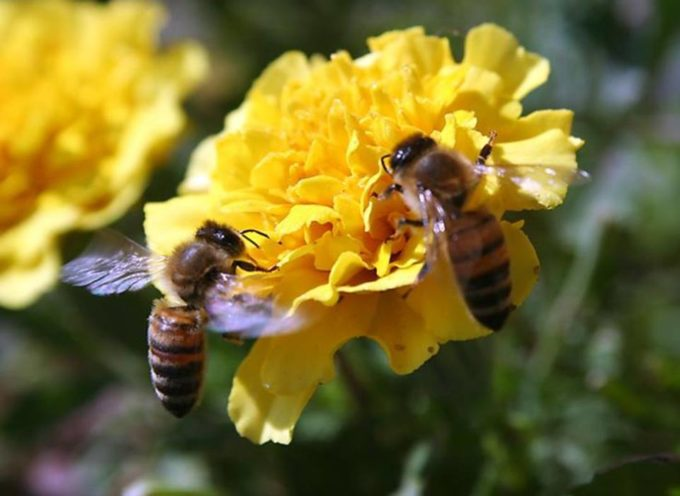 Gli IMPOLLINATORI, o insetti pronubi, sono fondamentali per la sopravvivenza di molte piante.