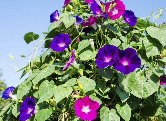 I fiori di un solo giorno: l'Ipomea.