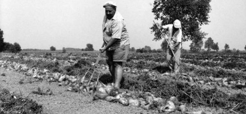 I lavori di Agosto: la raccolta della barbabietola da zucchero.