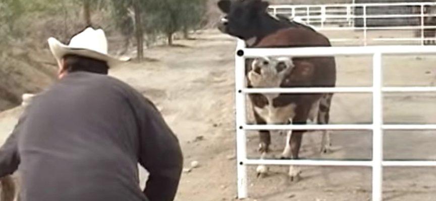 la mucca piange per la scomparsa del cucciolo, l'incontro commuove il popolo di internet