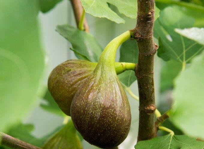 la Frutta di stagione: il fico.