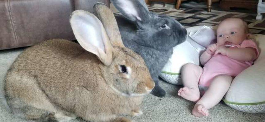 Una coppia di conigli giganti decide di prendersi cura della loro nuova sorellina