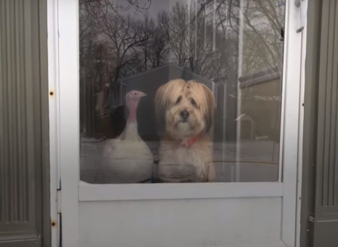 Questo tacchino è diventato il migliore amico per il cane Minnow, e adesso sono inseparabili
