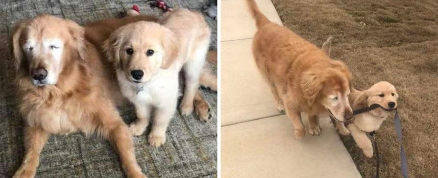 """Il vecchio cane cieco fa amicizia con un cucciolo che diventa il suo """"cane guida"""""""