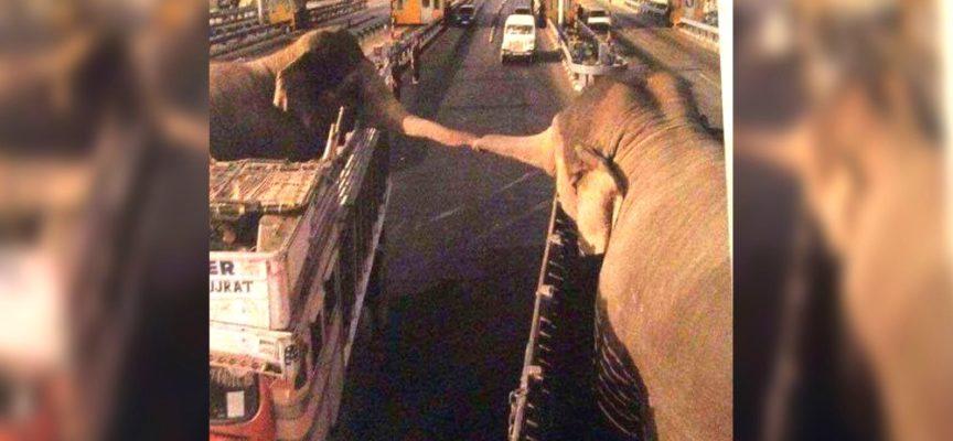 Due elefanti vengono separati per sempre, ma le loro proboscidi si intrecciano per l'ultimo saluto