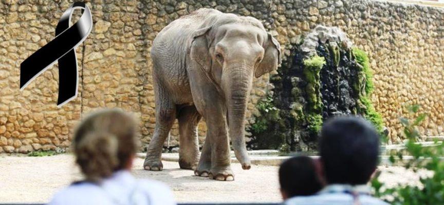 E' morta Flavia, l'elefante più triste del mondo dopo 43 anni di solitudine