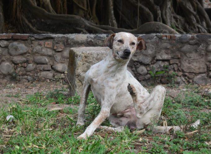 Il nuovo vaccino contro la leishmaniosi può immunizzare e curare i cani infetti