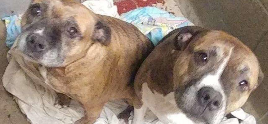 Questa mamma pitbull e il suo cucciolo aspettano da due anni una casa che li accoglie entrambi