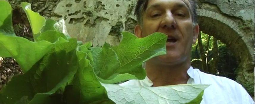 marco pardini ci parla della pianta semprevivo