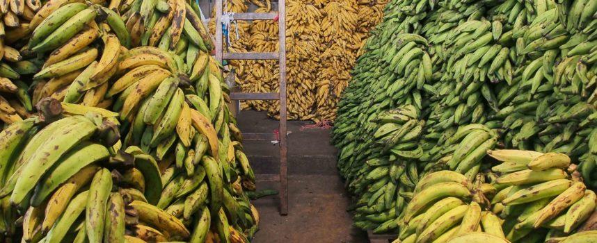 Non solo emergenza xylella, SOS fungo killer della banane. Un fungo rischia di compromettere le piantagioni e i raccolti delle banane nel mondo.