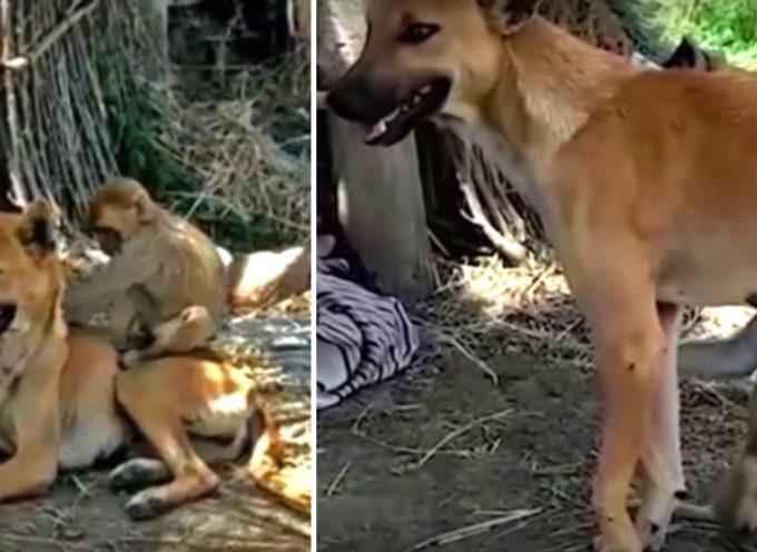 Una scimmia ha perso sua madre ma questo cane lo ha adottato: cammina, fa da infermiera e si prende cura di lui come se fosse suo