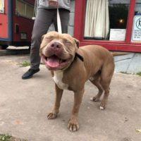 Pit Bull appare sorridente nel mezzo di un servizio fotografico per cani