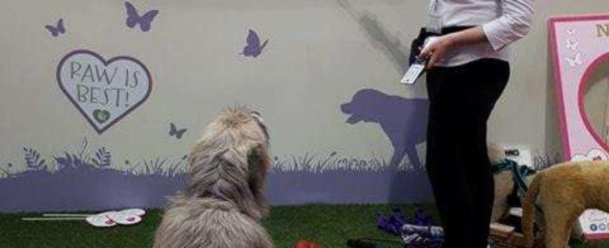 Un cane grande fallisce nel giro di agilità nel modo più adorabile