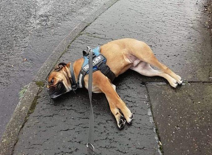 Un cane MOLTO drammatico fa finta di morire per protesta quando viene portato a spasso