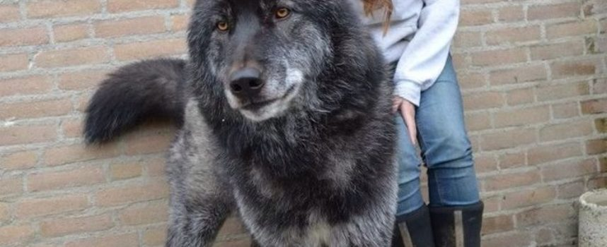 18 splendidi cani lupo che vogliamo abbracciare, e non vogliono lasciarti andare!