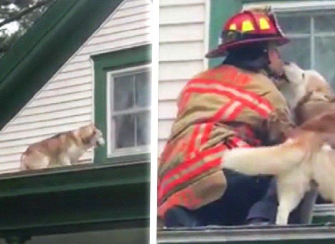 Questo husky ringrazia il pompiere che lo ha salvato