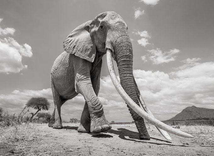 """Queste sono le ultime foto della leggendaria """"Regina degli elefanti"""" prima della sua morte."""