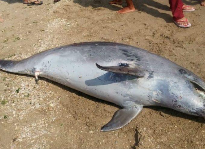 Un virus il responsabile della moria di delfini lungo le coste toscane