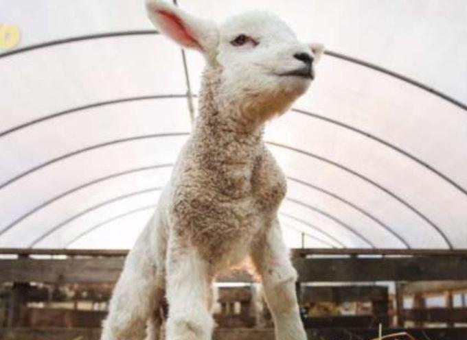 Dolcezza pura! Il video del piccolo agnello che balla con il suo veterinario conquista Internet