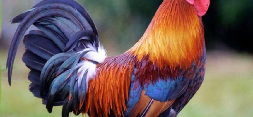 Australia: donna uccisa da un gallo.