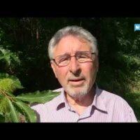 Si profila una raccolta record di castagne nella Valle del Serchio