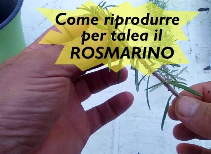 La coltivazione del rosmarino e la riproduzione per talea