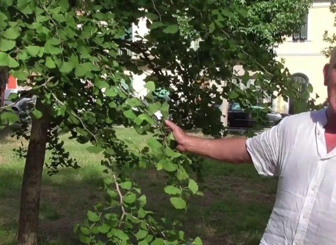 MARCO PARDINI  – Il Ginkgo biloba nella pineta di ponente a Viareggio.
