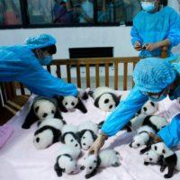 """Incontra la """"scuola materna panda"""" più carina del mondo!"""