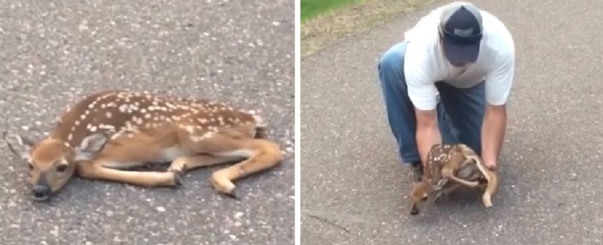 Salva un piccolo cervo che si trovava in una posizione molto strana in mezzo alla strada
