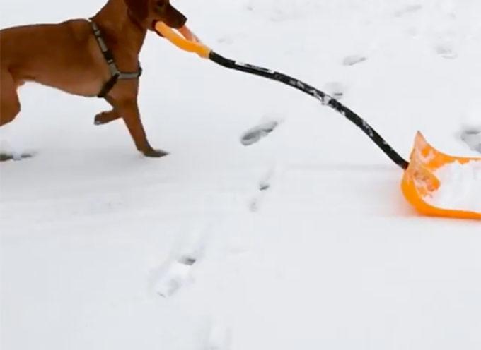 Rossi, il cane che ama aiutare il suo proprietario a rimuovere la neve, ruba il cuore di milioni di persone