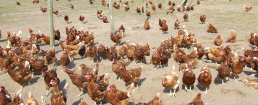 Le galline sono machiavellici e bravi in matematica, dice la scienza