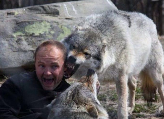Dopo aver dedicato loro la vita, un uomo diventa il capo di un branco di lupi