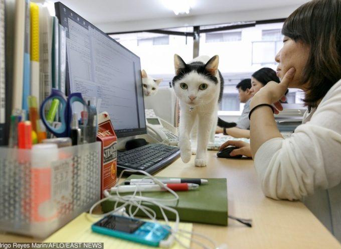 Azienda giapponese adotta i gatti per i suoi dipendenti