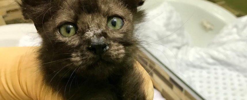 Kitten riprende il suo bellissimo soffice pelo dopo aver trovato qualcuno che le ha salvato la vita