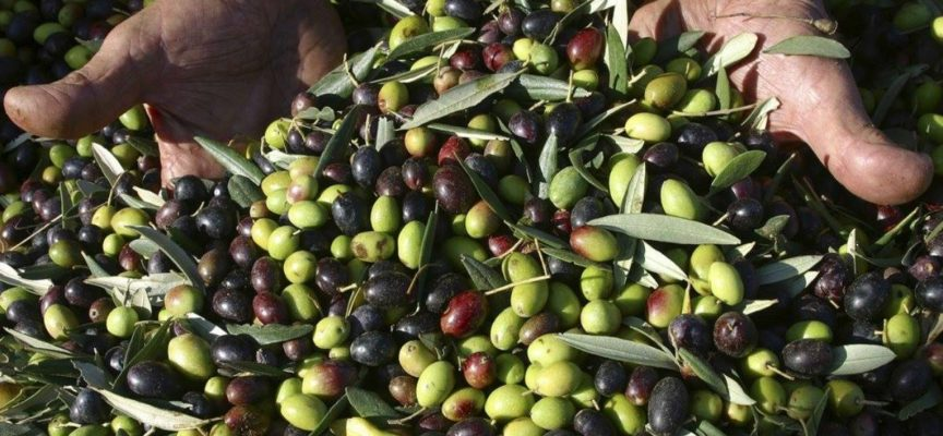 OLIVE IN SALAMOIA ALL'USO LUCCHESE
