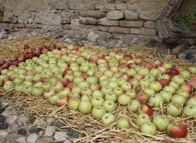 La mela della nonna: la Mela Campanina.