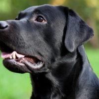 Sindrome del cane nero: la triste discriminazione degli animali oscuri