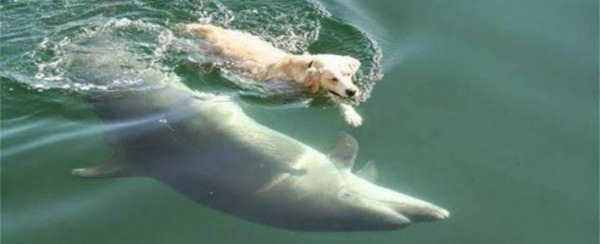 Ben, il cane che nuota ogni giorno per incontrare il suo grande amico delfino