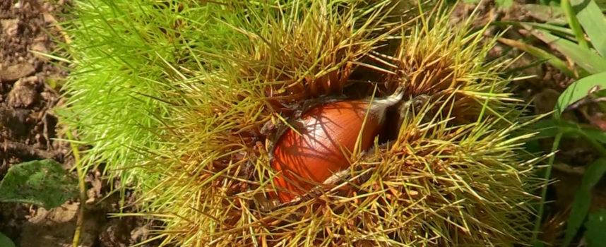 Il castagno da frutto è proprietà privata: si può essere denunciati per furto