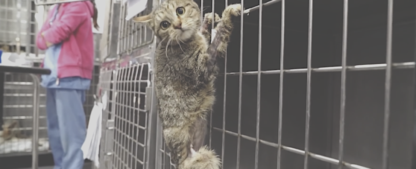 Il gatto viene amputato per la gamba, ma poco dopo inizia a comportarsi in modo strano e nessuno può spiegare il perché
